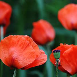 Debbie Oppermann - Where Poppies Grow