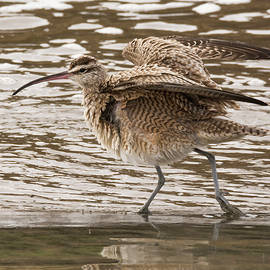 Bruce Frye - Whimbrel- Fluff and Shake