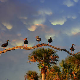 Dick Hudson - Whistling Ducks Perch