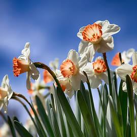 John Haldane - White and Orange Daffodils on a Blue Sky