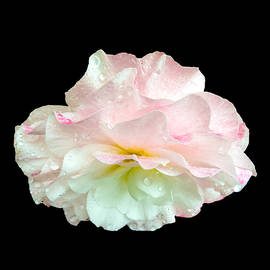 Martin Wall - White and Pink Begonia