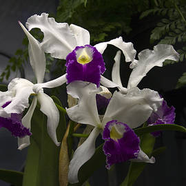 Sally Weigand - White and Purple Orchids