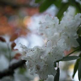 White Azaleas Aging - Mike Reid