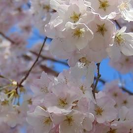 Charlotte Gray - White Blossoms