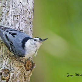 Larry Hitchens - White Breasted Nuthatch