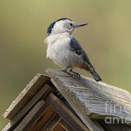 Mike Dawson - White-Breasted Nuthatch