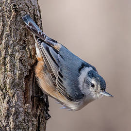 Morris Finkelstein - White-Breasted Nuthatch