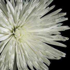 David Stone - White Chrysanthemum