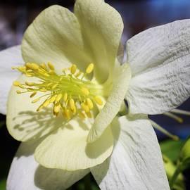 Bruce Bley - White Columbine Blossom