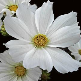 Judy Hall-Folde - White Cosmos