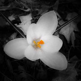 Richard Andrews - White Crocus - Edit