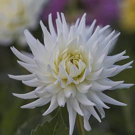 Frank Fullard - White dahlia