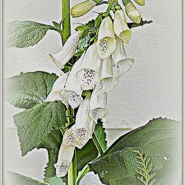 Diane montana Jansson - White Foxglove