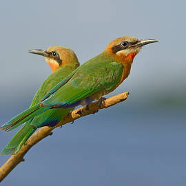 Tony Beck - White-fronted Bee-eaters