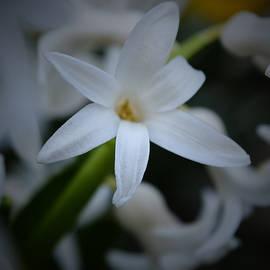 Richard Andrews - White Hyacinth