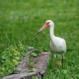 Debra Martz - White Ibis Strolling Through the Park