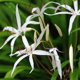 Rumyana Whitcher - White Lilies