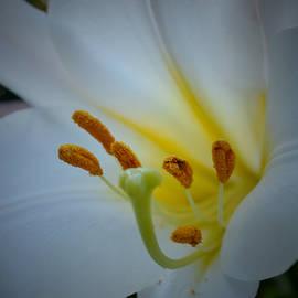 Richard Andrews - White Lily
