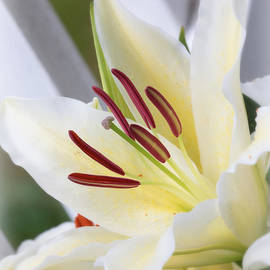 Carol Groenen - White Lily World