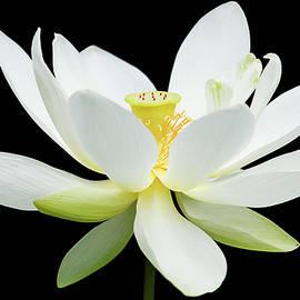Dawn Currie - White Lotus on Black