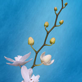 Tom Mc Nemar - White Orchid Buds on Blue