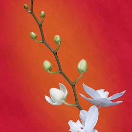White Orchid Buds on Red - Tom Mc Nemar