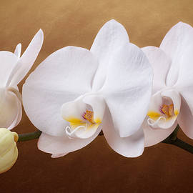 White Orchid Flowers and Bud - Tom Mc Nemar