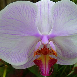 Lingfai Leung - White Orchid with Purple highlights