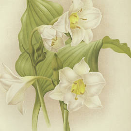 White Orchids   Eucharis sanderiana - English School