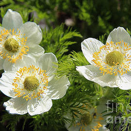 Vickie Emms - White Pasque Flower  aka Towhead Babies
