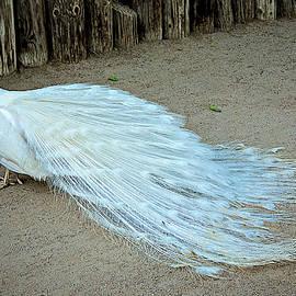 Barbara Zahno - White Peacock Beauty