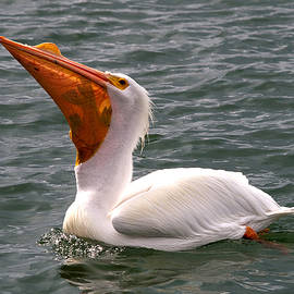 Phil Stone - White Pelican and lunch