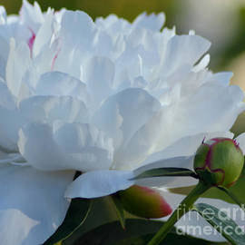 Luv Photography - White Peony Flover