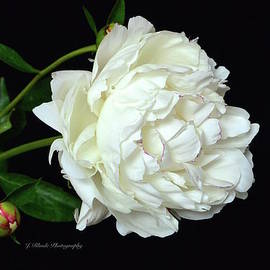 Jeannie Rhode Photography - White Peony with Bud