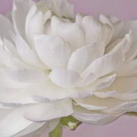 Sandra Foster - White Ranunculus Macro