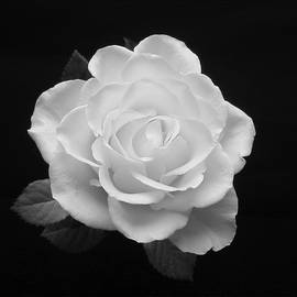 Johanna Hurmerinta - White Rose 2