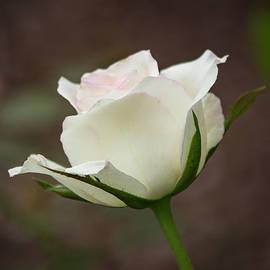 Teresa Wilson - White Rose Bud 2