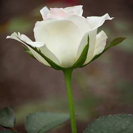 Teresa Wilson - White Rose Bud