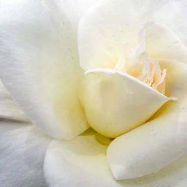 Martin Wall - White Rose Macro