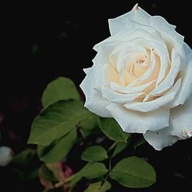 Mindy Newman - White Rose