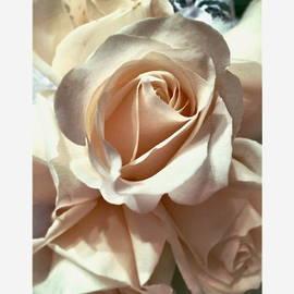 Neal Alicakos - White Rose