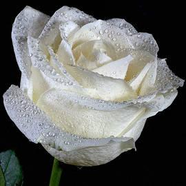 Lowell Monke - White Rose on Black