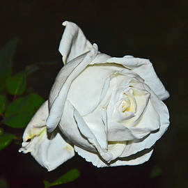 Andy Za - White rose Romania.