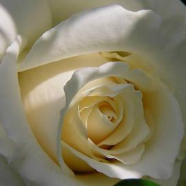 Shirley Stevenson Wallis - White Rose