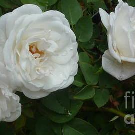 Anna Folkartanna Maciejewska-Dyba - White Roses