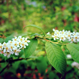 Marfffa Art - White Spring Blossoms