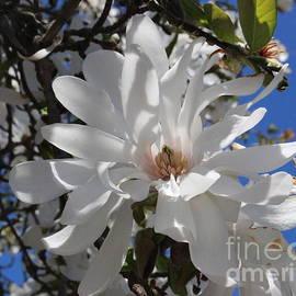 Photographic Art and Design by Dora Sofia Caputo - White Star Magnolia