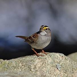 Linda Crockett - White-throated sparrow on a rock