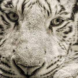 Devina Browning - White Tiger Closeup