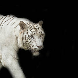 Jijo George - White Tiger